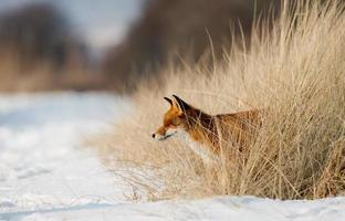 röd räv i ett snöig landskap foto