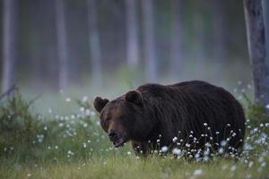 björn på sommaren foto