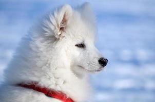 samojed hund foto