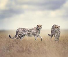 två cheetahs promenader foto