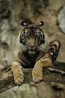 sumatran tiger (observerande) foto