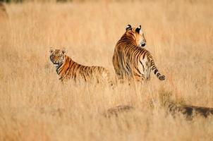tigrar på patrull foto