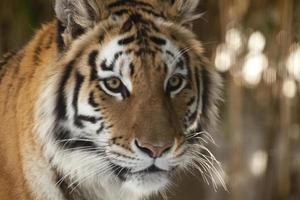 den siberiska tigern foto