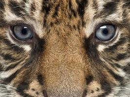 närbild av sumatran tigergröngöling, Panthera tigris sumatrae foto