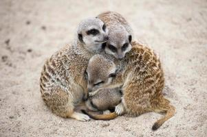 meerkats (suricata suricatta) foto