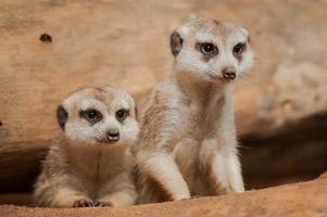 liten meerkat eller suricate (suricata suricatta) foto