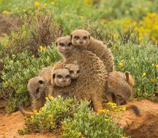 meerkat totem foto