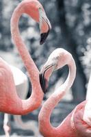 rosa flamingos mot suddig bakgrund foto