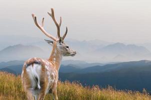 whitetail hjortar foto