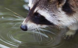 närbild porträtt av en vuxen tvättbjörn foto
