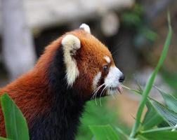 röd panda foto