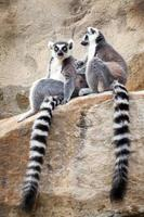 två ringformiga lemurer som kopplar av på en bergyta foto