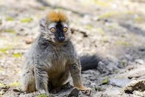 röd lemur (eulemur rufus) foto