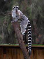 lemurer foto