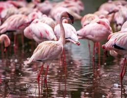 flock med rosa flamingos foto