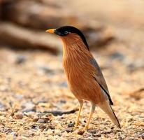 brahminy starling foto