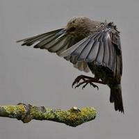 ung starling foto