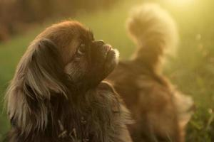 pekingesisk hund foto