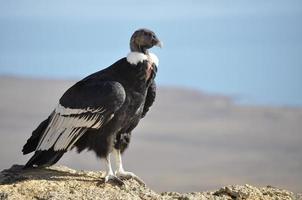 patagonisk kondor foto