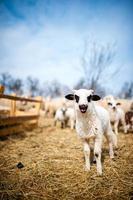 nyfiken liten lamm som sjunger på den lokala gården foto
