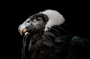 andisk kondor (vultur gryphus) foto