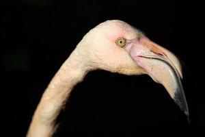 huvud rosa flamingo närbild på en svart bakgrund foto