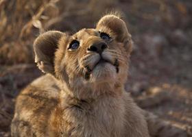 lejonunga (panthera leo) foto
