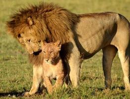 serengeti lejon foto