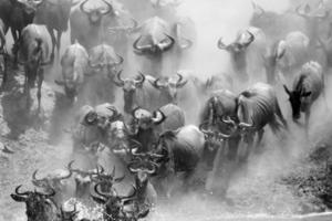 gnuer flodkorsning under 2010-migrationen, serengeti foto