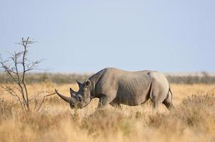 svart noshörning i etosha nationalpark foto