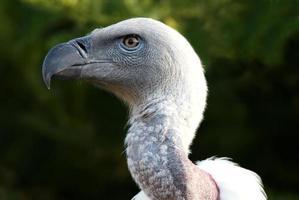 griffon gam fågel porträtt foto