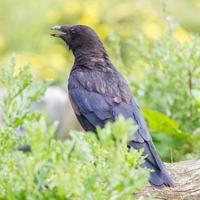 svart kråka foto