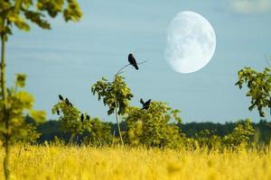 kråkor flyger foto