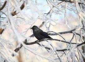 kråka på snötäckt träd foto