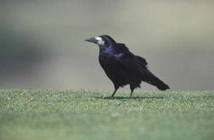 rook, corvus frugilegus foto