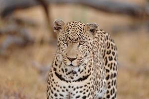 leopard, stor hane på marken i öppet foto