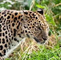 porträtt huvud skott av vuxen amur leopard foto