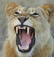 lejoninna som visar tänder foto