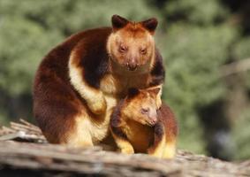 trädkänguruer foto