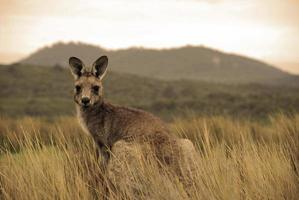 vild känguru i outback foto