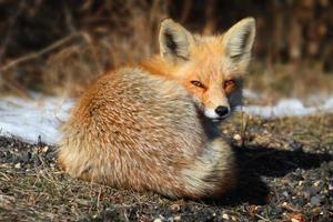 röd räv (vulpes) foto