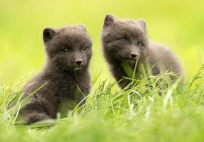 närbild av arktisk räv vulpes lagopus ungar foto