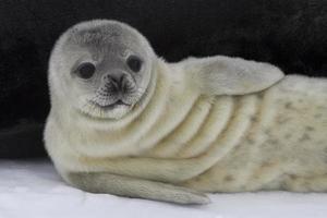 nyligen född valp weddell säl 1 foto