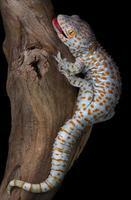 tokay gecko på drivved foto