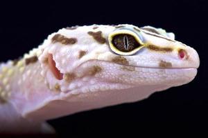 iransk fett tailed gecko, (eublepharis angramainyu) foto