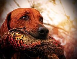 Rhodesian ridgeback dog foto