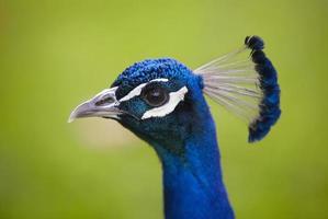 påfågelhuvud över en grön bakgrund foto