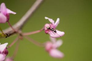 myra som kryper på redbud trädblomman på våren foto