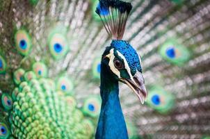 indisk påfågel foto