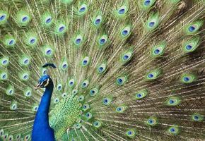 inför vänster påfågel foto